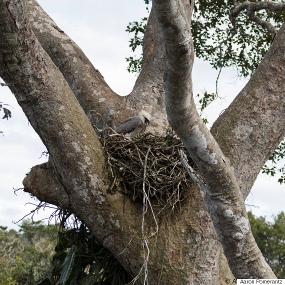 Rare Harpy Eagle Found in the Amazon | HuffPost