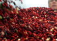 Cranberries Aren't The Magic Bullet For UTIs: Study