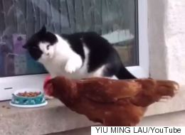 Cheeky Chicken Tries To Steal Cat's Lunch