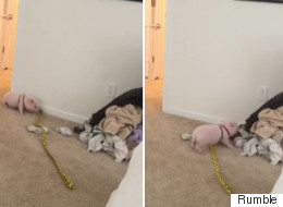 Excited Micro-Pig Really Likes Helping With The Laundry