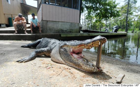 alligator attack 2