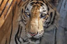 A tiger | Pic: PA