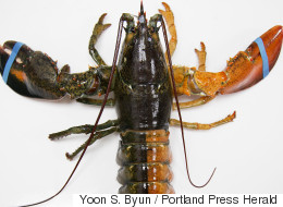 This Freaky-Looking Split-Colored Lobster Was A 1 In 50 Million Catch