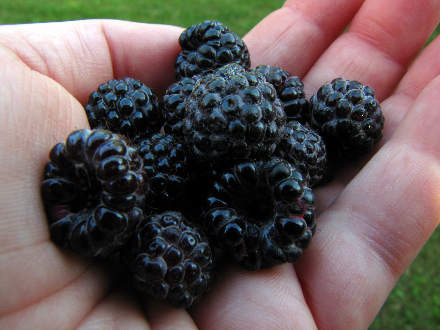 Blackberry vs Black Raspberry: What's The Difference ...