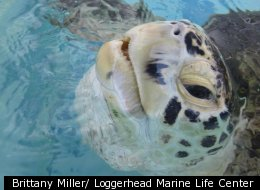 After Year Of Rehab, Turtle With Broken Shell Will Be Set Free