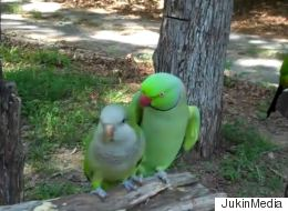 Talking Parakeet Asks Female Parrot for a Kiss