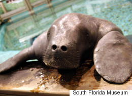 A Very Important Manatee Just Got Inducted Into The Guinness Book Of World Records