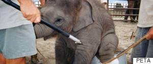 ELEPHANT BULLHOOK