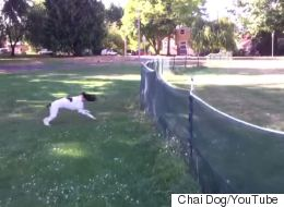 Dog Front-Flips Over Fence With Ninja Skill