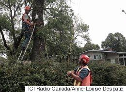 Agrile du frêne : peu de Montréalais font traiter leur arbre