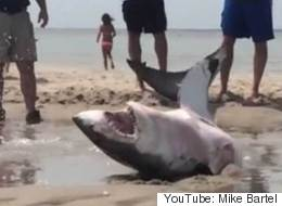 Heroic Beachgoers Save Stranded Great White Shark