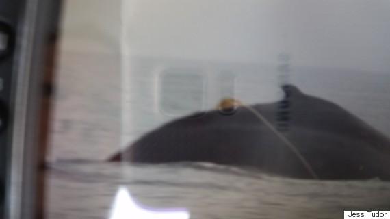 humpback whale tangled