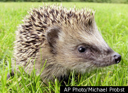 Swedish Police Arrest Woman For Housing A Hedgehog