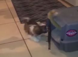 Naughty Shih Tzu Locks Cat In Cage