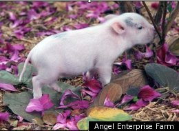 Teacup Pig: Man's New Best Friend?