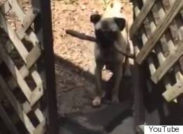 Frustrated Pug Can't Fit Stick Through Door