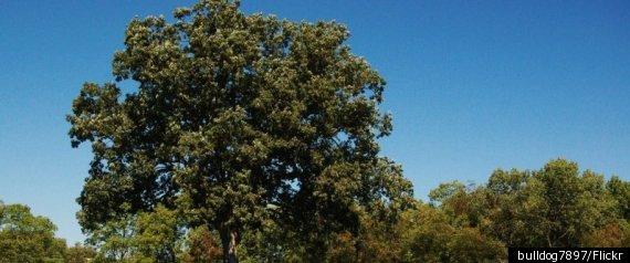 SHAWSHANK REDEMPTION OAK TREE