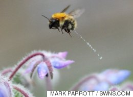 Photographer Takes Incredible Once-In-A-Lifetime Picture Of A Bee Having A Wee