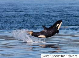 Baby Orca Has A Grand Time Off The B.C. Coast