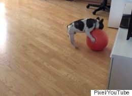 Adorable French Bulldog Loves Playing With His Mini Yoga Ball