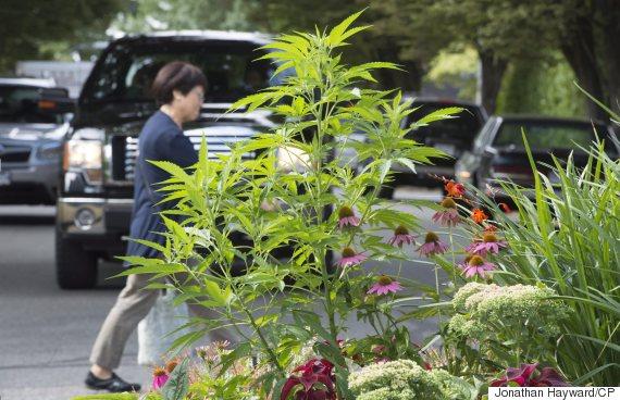 vancouver marijuana plant
