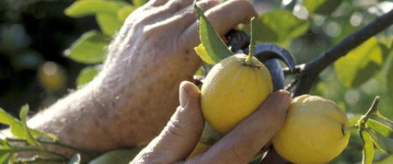 Ho mollato l 39 universit per coltivare i limoni migliori for Coltivare limoni