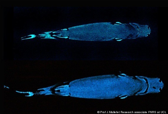 Lantern Sharks Can Become Invisible, Glow-In-The-Dark ...