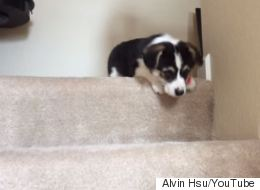 Tiny Corgi Puppy Tries To Use The Stairs For The First Time