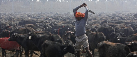 Gadhimai Animal-Slaughter Festival In Nepal To Go Bloodless