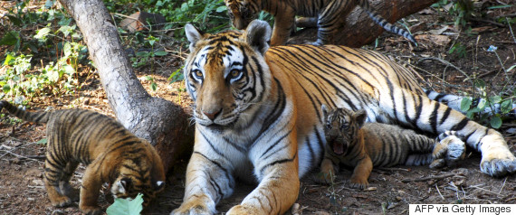 tiger zoo india