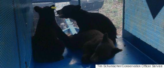 bear cubs bc