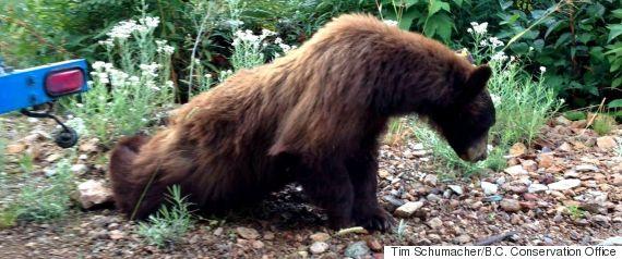 bear whistler bc