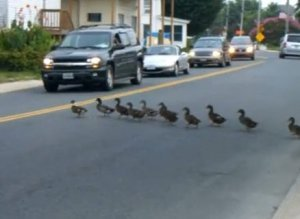 Ducks Crossing Street