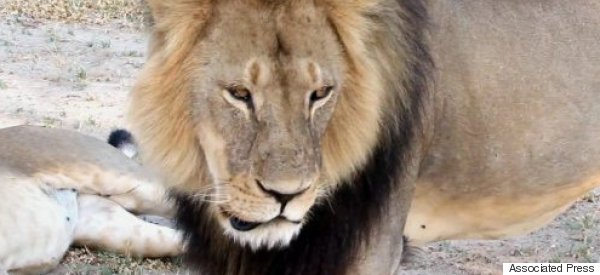'Despicable'! Top MP Wants Inquiry After Cecil The Lion Killing