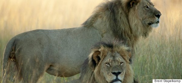 Emotional Cecil The Lion Researcher Speaks Out Over Killing