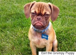 This Angry Puggle Might Be The Successor To Grumpy Cat