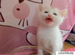 Three-Week-Old Kitten Can't Figure Out How To Drink Water