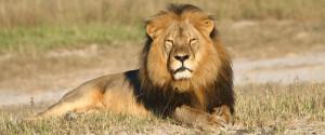 ZIMBAWE LION