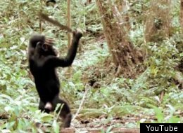 Chimps With Machetes