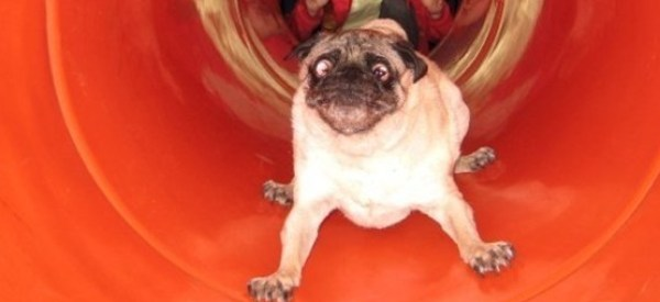 This Compilation Of Pugs On Slides Will Brighten The Gloomiest Of Days