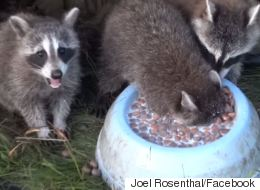 Dopey Raccoons Try To Eat Cereal