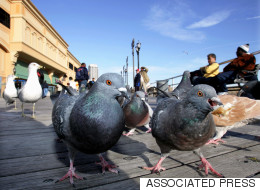 Seagulls Are Officially Worse Than Pigeons, According To YouGov
