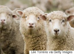 Edmonton Sheep Farmer Given Extended Deadline To Remove Sheep
