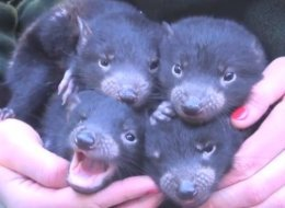 WATCH: Baby Tasmanian Devils