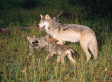Activists Ask For Wolf Hunts In Idaho And Montana To Be Halted