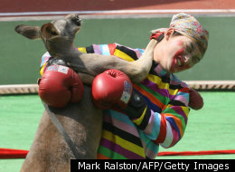 It's Dumb To Fight A Boxing Kangaroo (VIDEO)