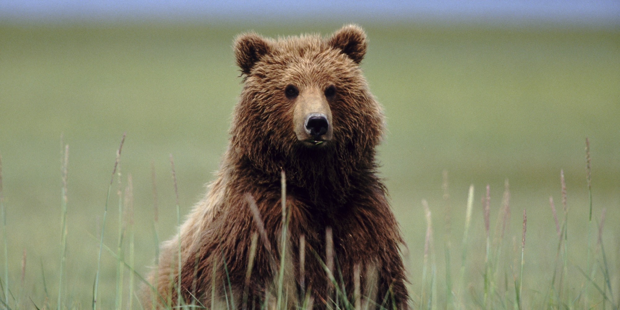 Grizzly Bear Delisting: Lessons from Scarface and Science