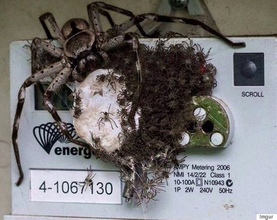 spider on electricity meter