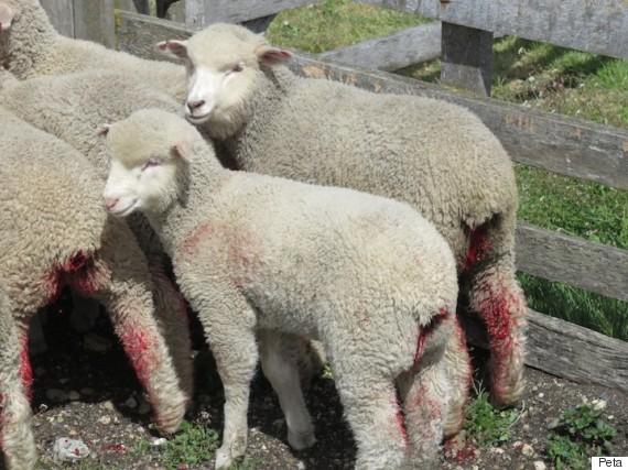 wool investigation