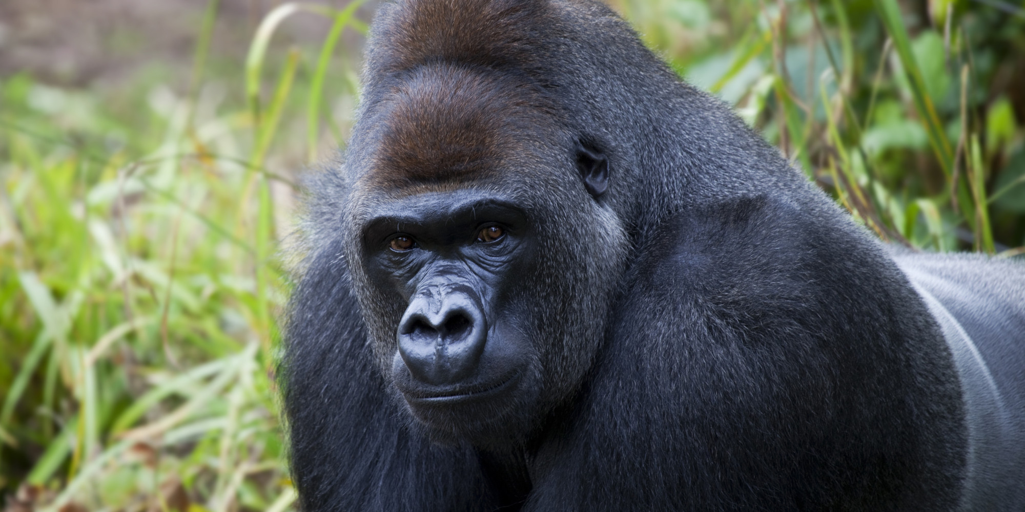 The Value of a Gorilla vs. a Human | HuffPost